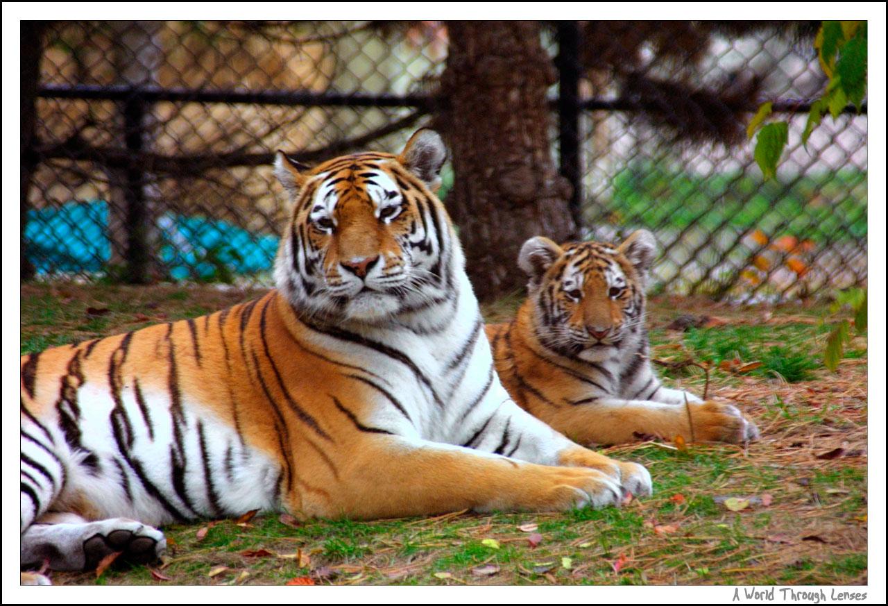 Giant Panda Cubs Playing Siberian Tiger cubs at...