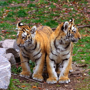 Siberian Tiger cubs at the zoo