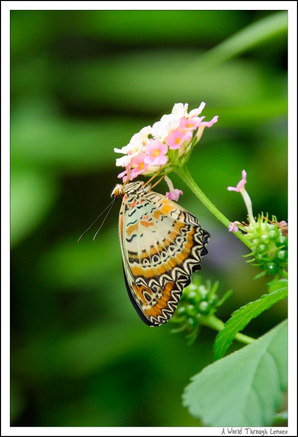 Common Tiger Butterfly