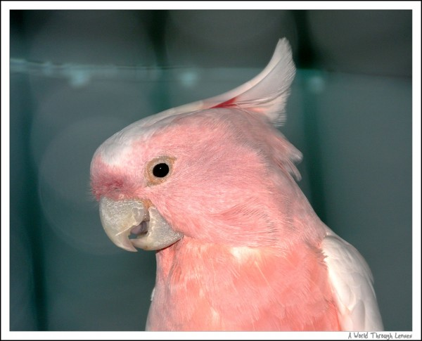 Major Michell's Cockatoo
