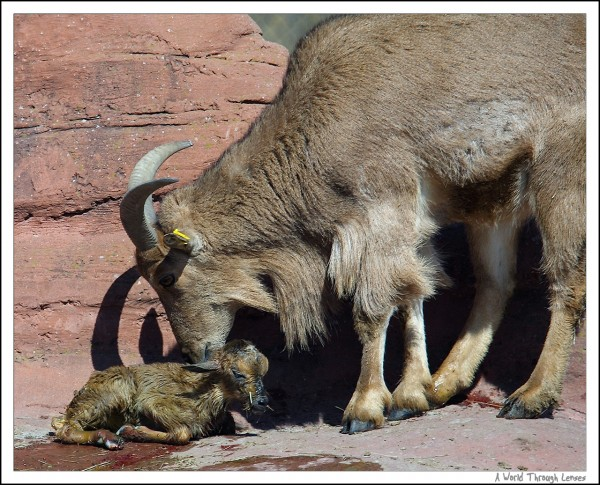 African Barbary Sheep