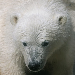 New polar bear cub in the zoo