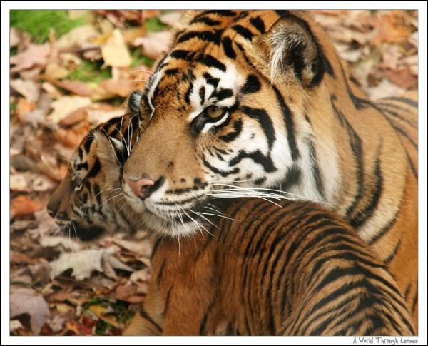 Giant Panda Cubs Playing Sumatran Tiger cubs tr...