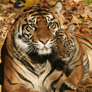 Sumatran Tiger cubs trio second wave