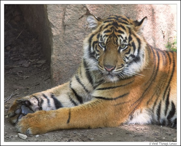 Sumatran tigers birthday
