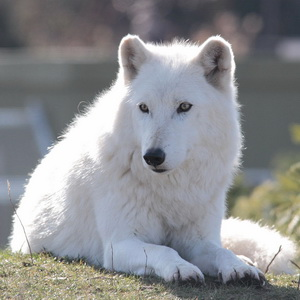 """White"" animal in the zoo – Arctic Wolf"