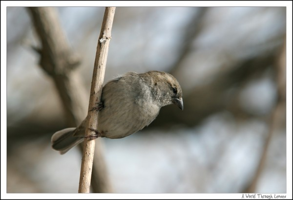 Spanish House Sparrow