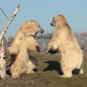 """White"" animal in the zoo – Polar Bear"