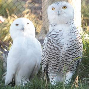 """White"" animal in the zoo – Snowy Owl"