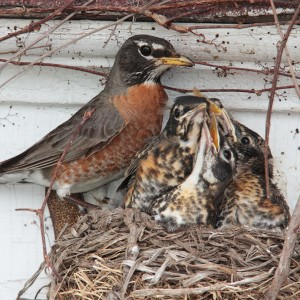 An American Robin Under The Porch