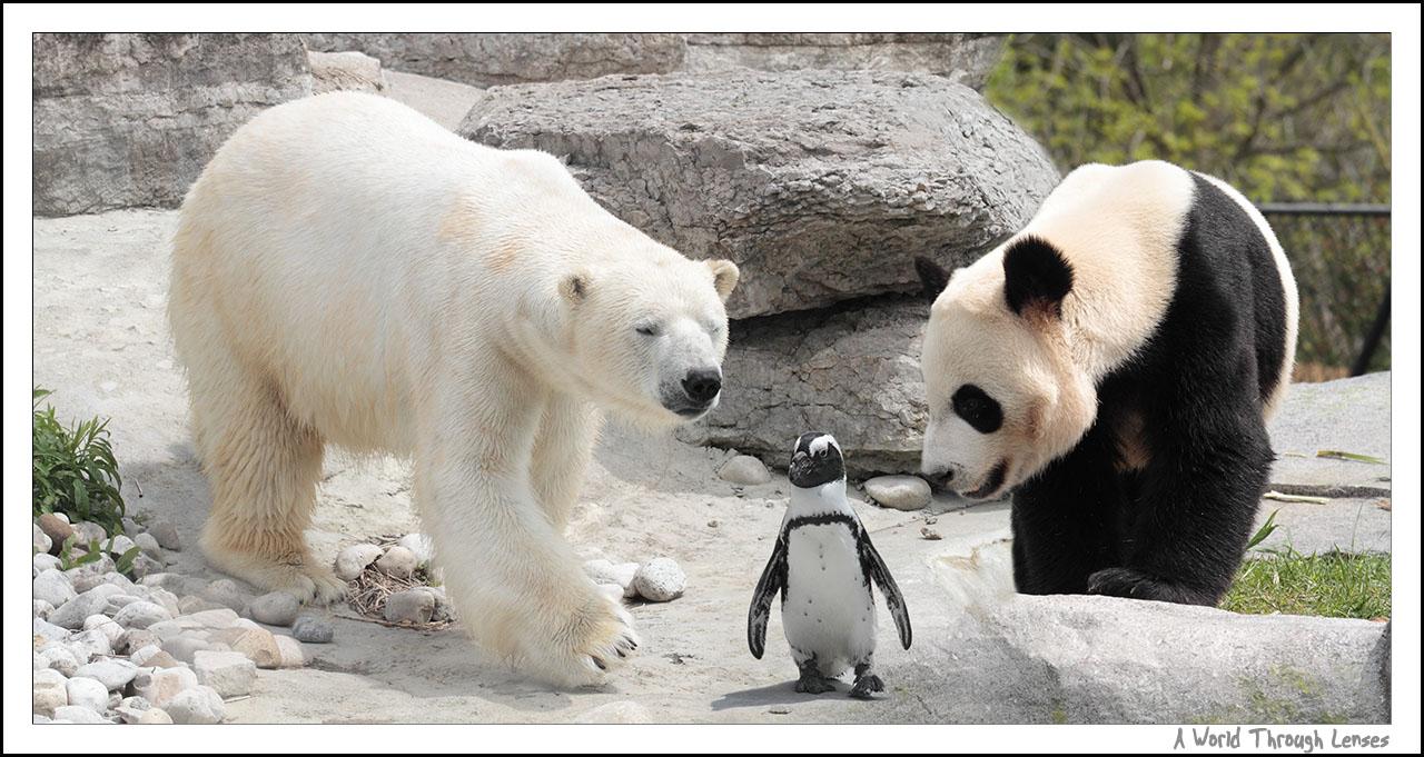 polar bears eating penguins wwwpixsharkcom images
